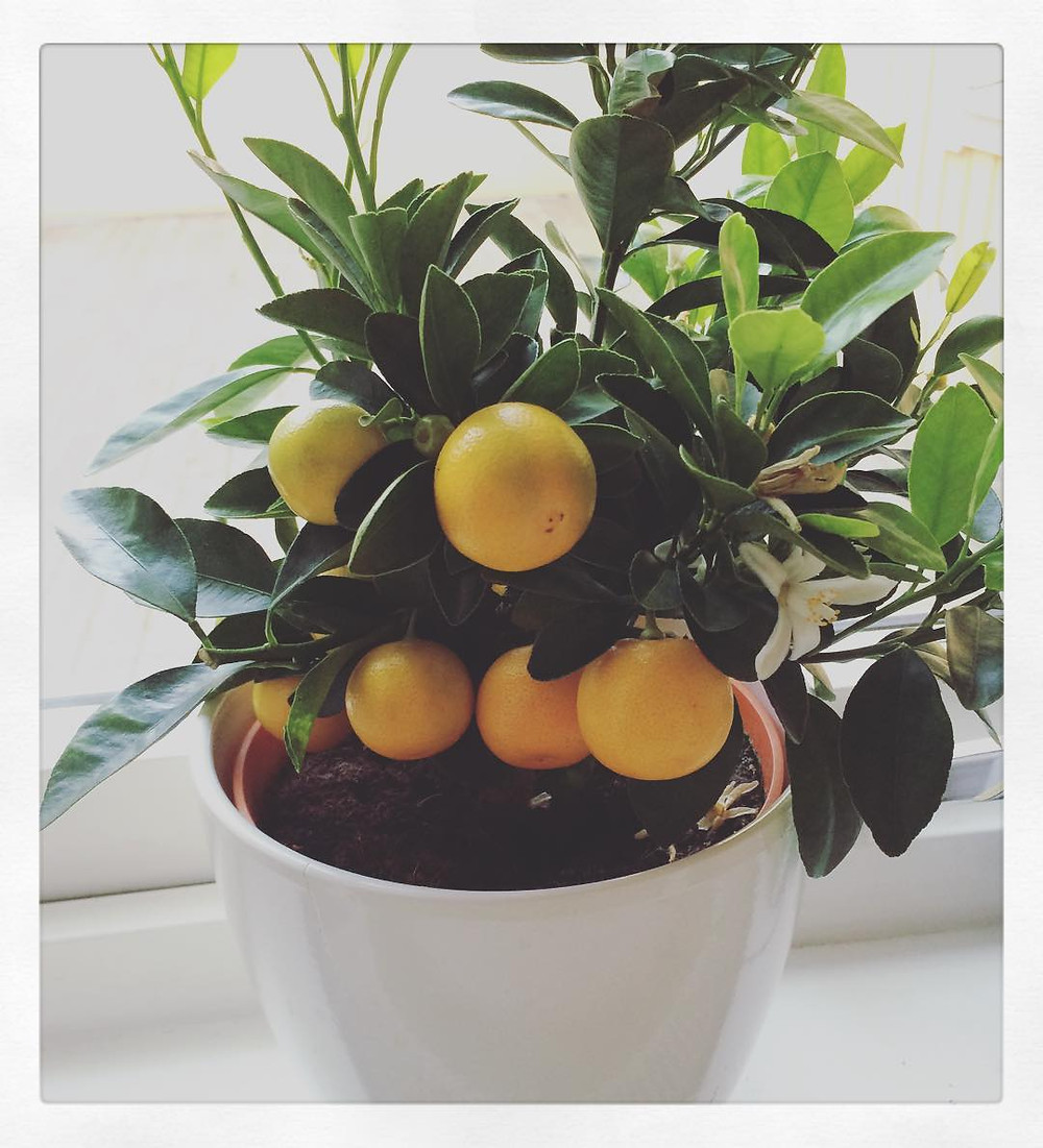Dwarf Citrus Tree Full Sun Bright Light Loving Plants