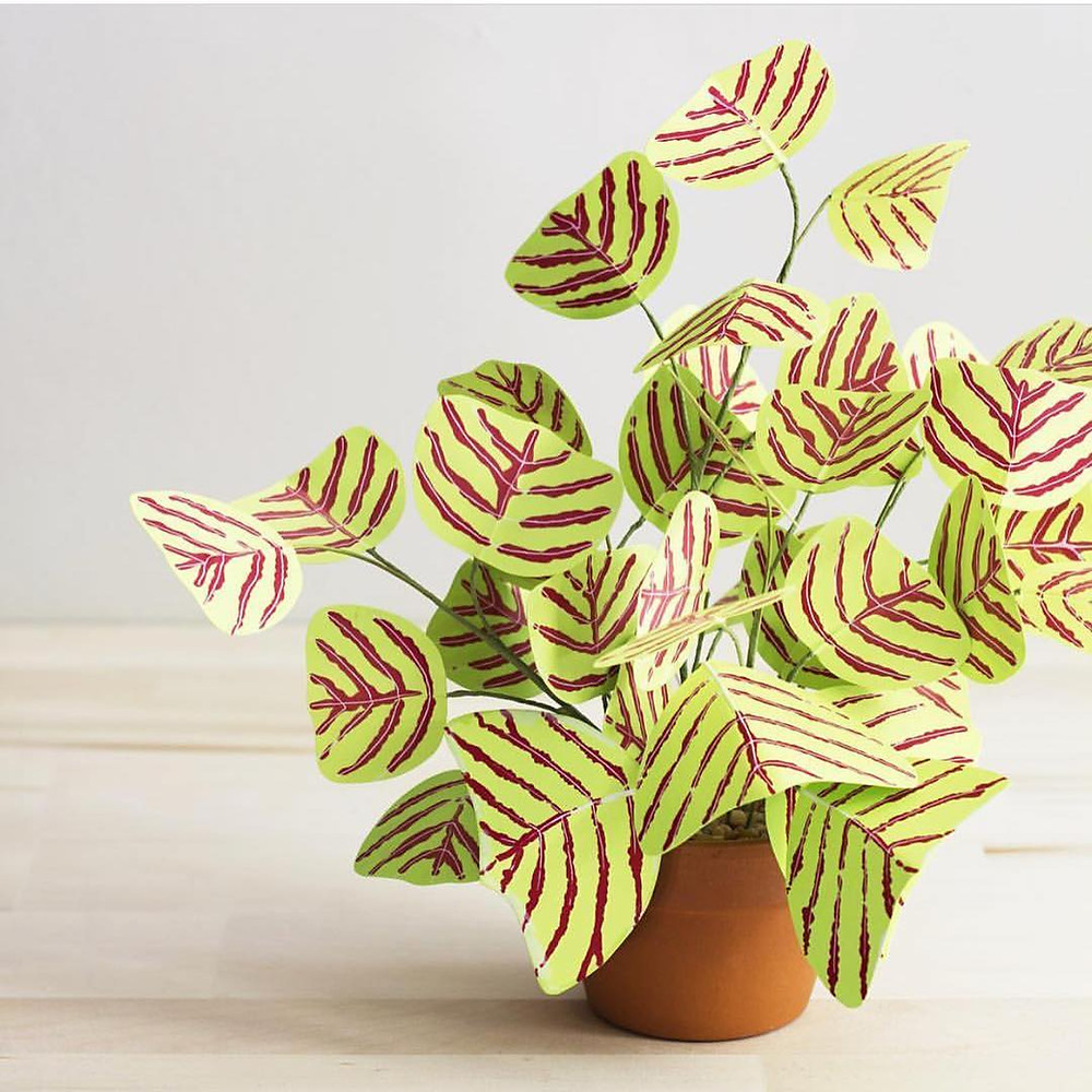 Butterfly Plant Christia obcordata Exotic Houseplants