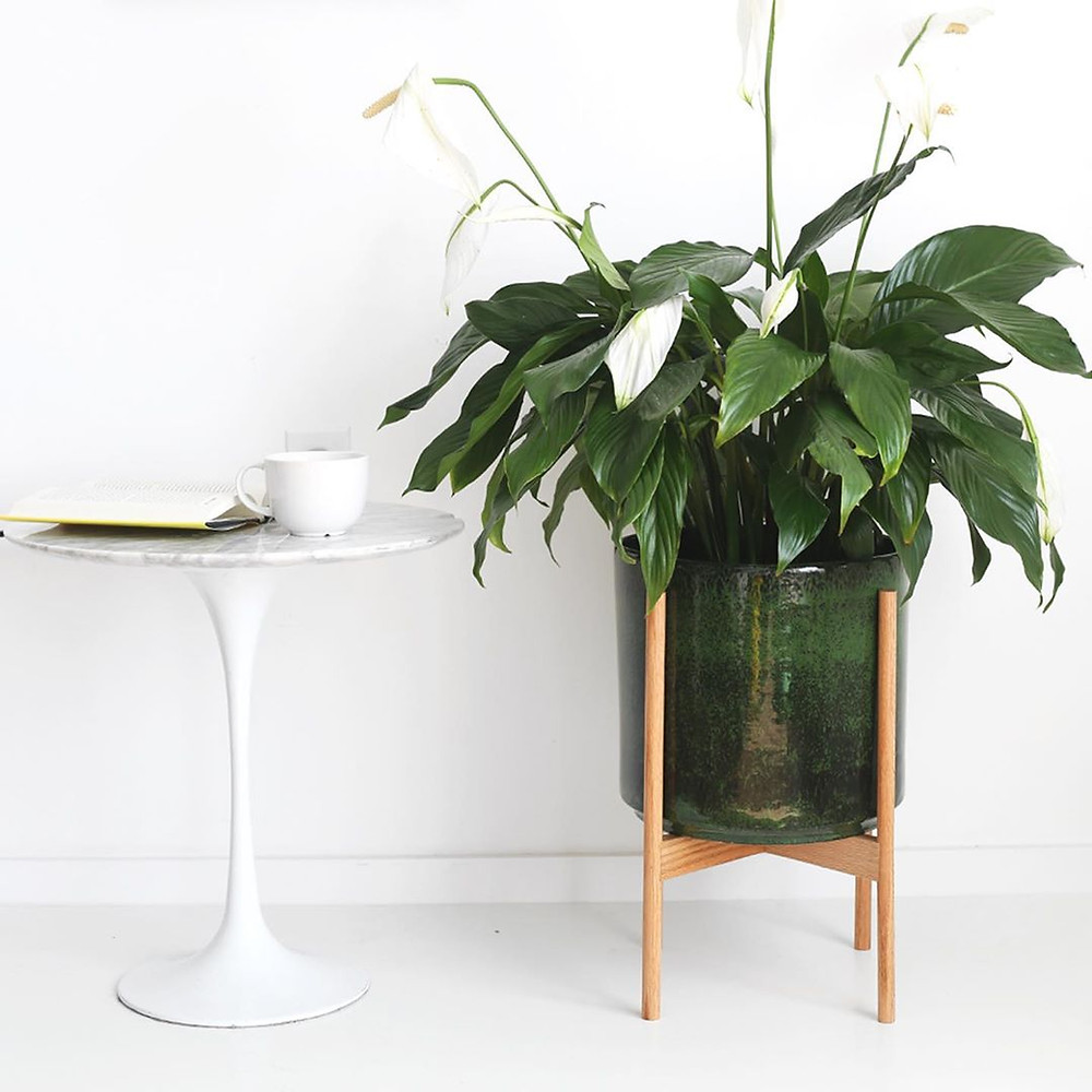 Peace Lily Quick Fast Growing Houseplants