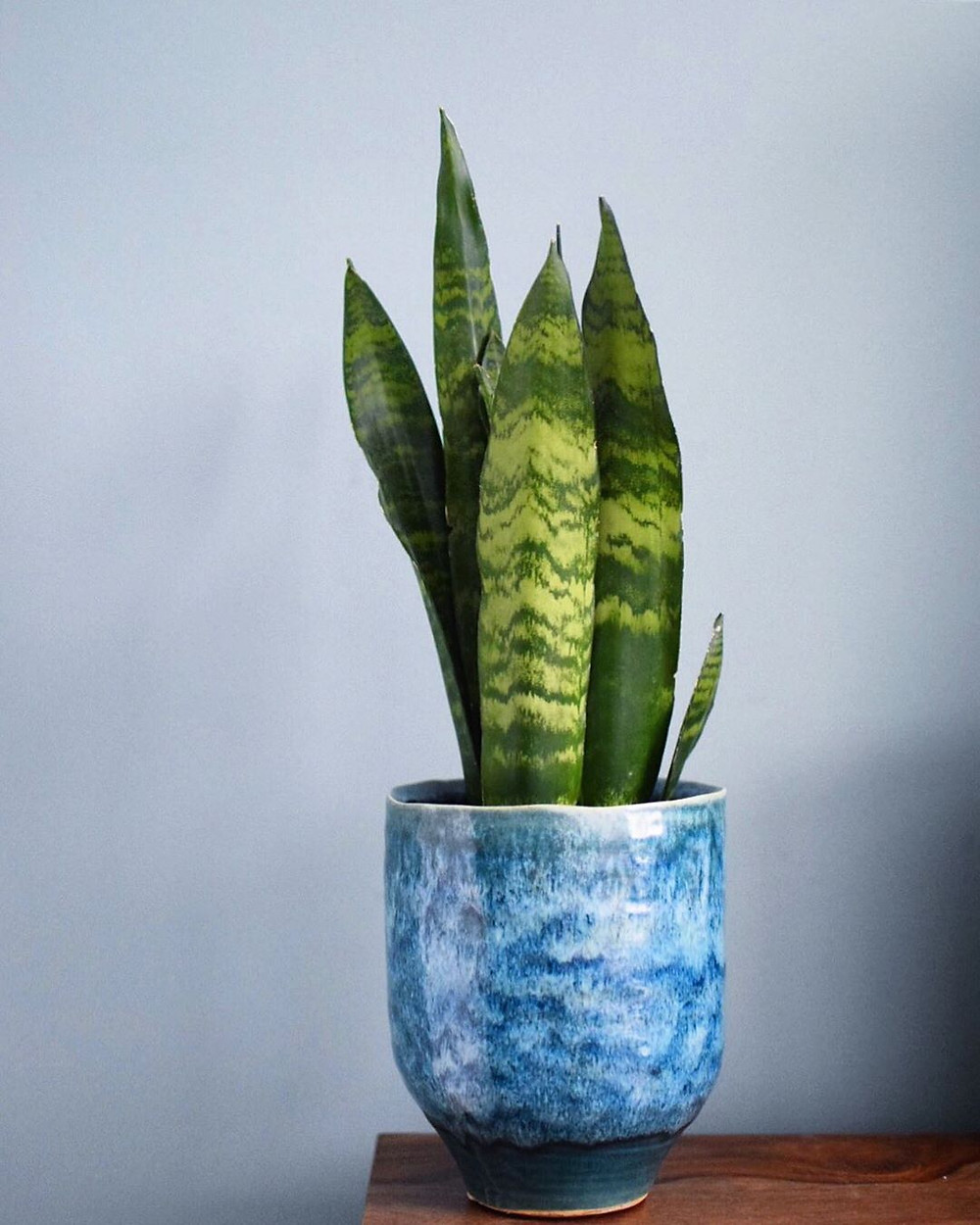 Snake Plant Sansevieria Low-Light Houseplants Perfect For Dark Rooms