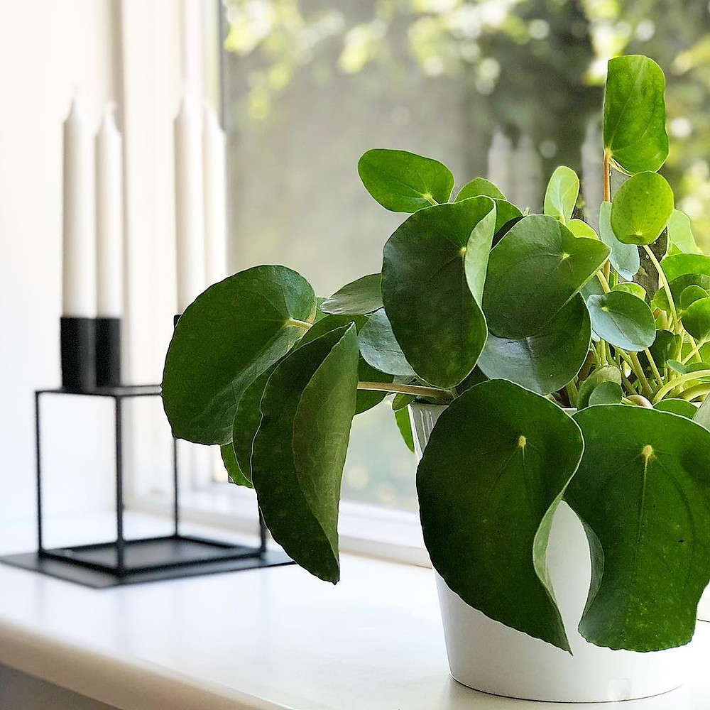 Pilea Peperomioides overwatering curling leaves drooping leaves