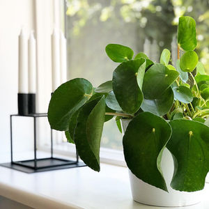 Common Pilea Foliage Problems: Causes And Cures