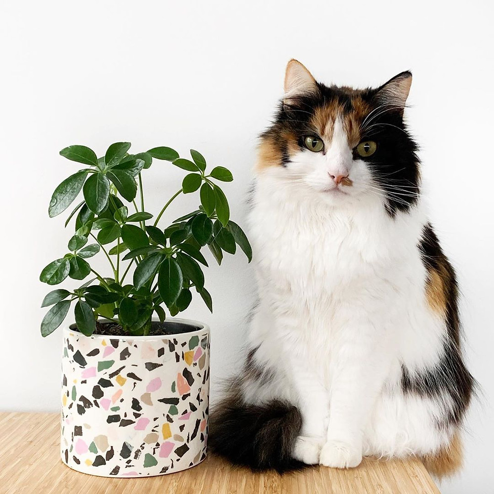 Schefflera Low-Maintenance Houseplants You Can Easily Grow