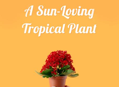Mini Kalanchoe: A Sun-Loving Tropical Plant