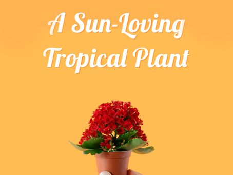 Mini Kalanchoe: A Sun-Loving Tropical Plant