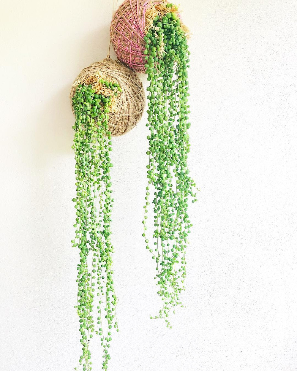 String Of Pearls Senecio Rowleyanus Trailing Plants Hanging Houseplants