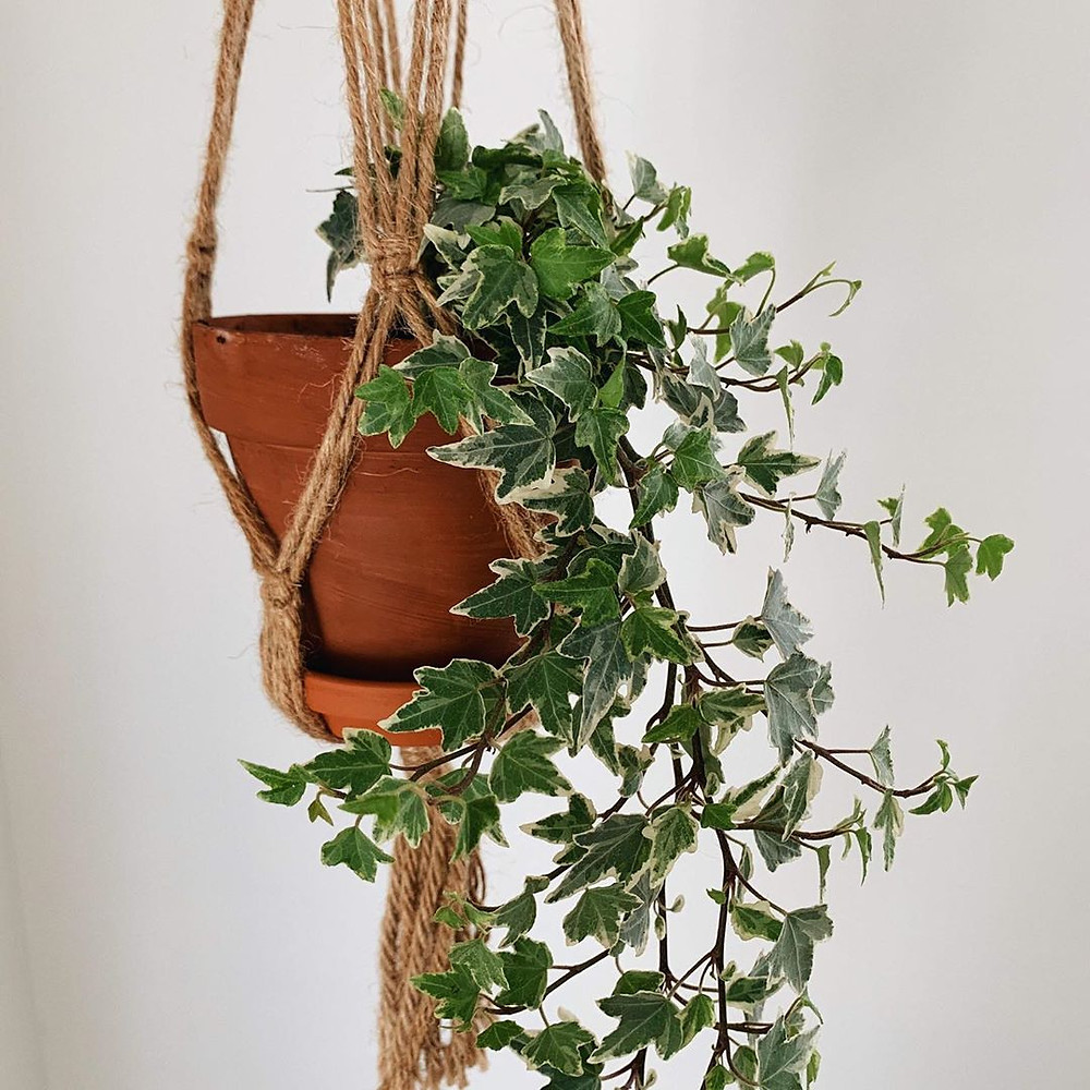 Ivy Low-Light Houseplants Perfect For Dark Rooms