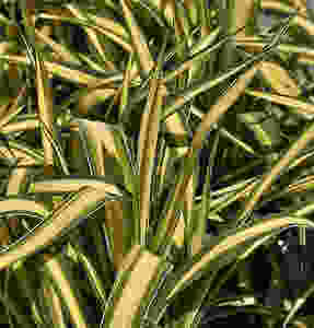 Yucca Filamentosa Variegated Houseplants That Will Add A Touch Of Soul To Your Home