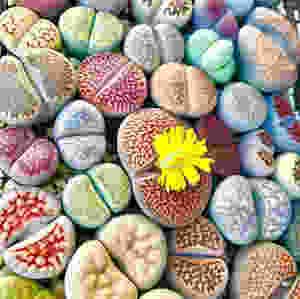 Living Stone Lithops