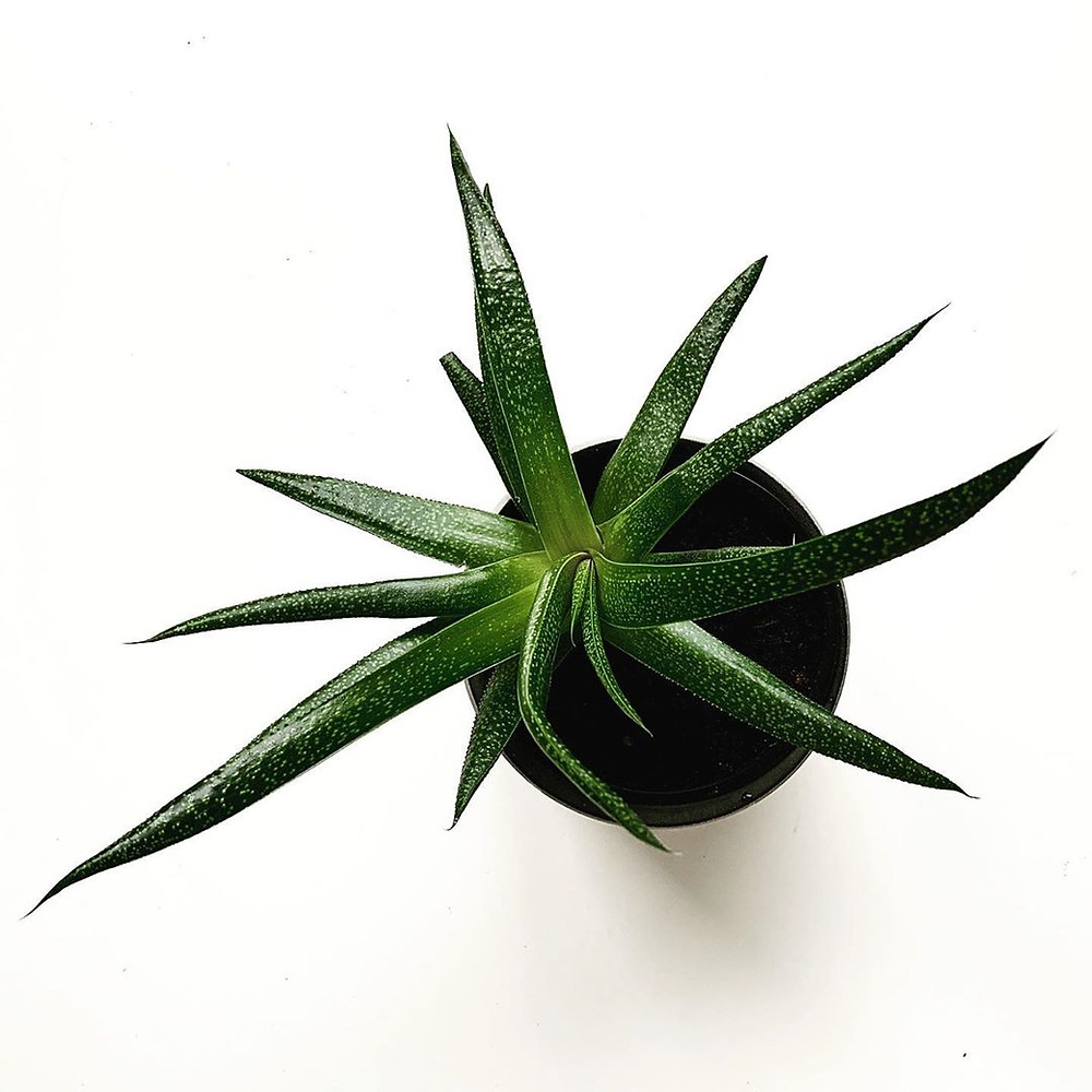 Aloe Mood Bosting Plants