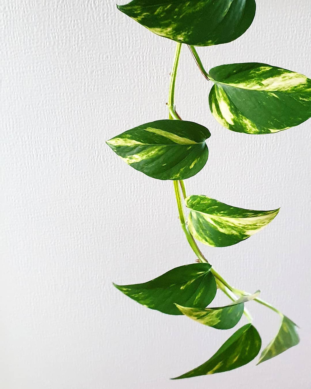 Golden Pothos Air Purifying Plants