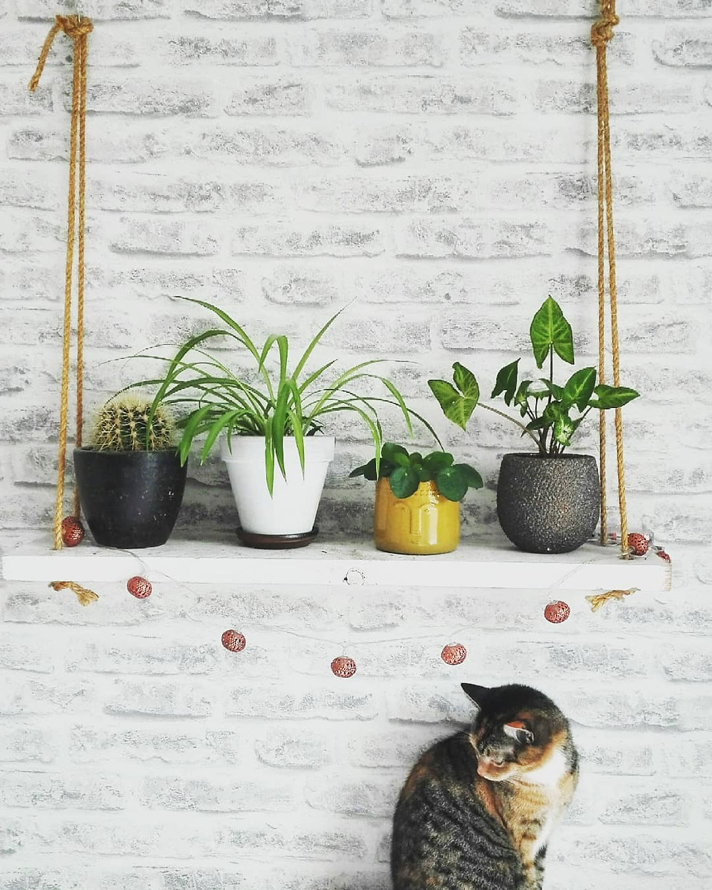 Pilea Peperomioides Pets Cats Dogs