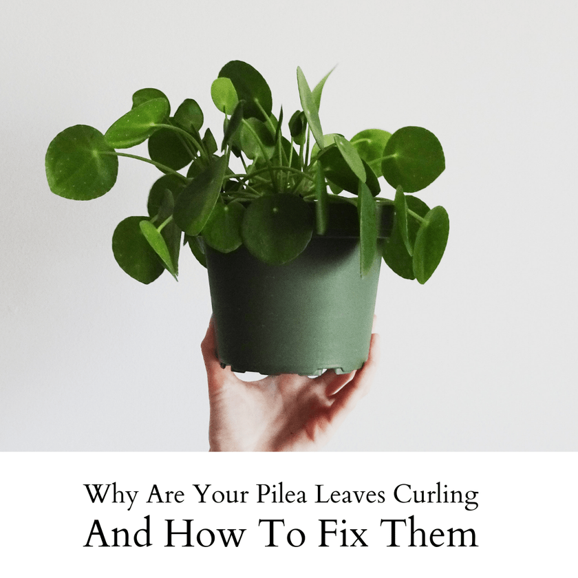 Why Are Your Pilea Leaves Curling And How To Fix Them