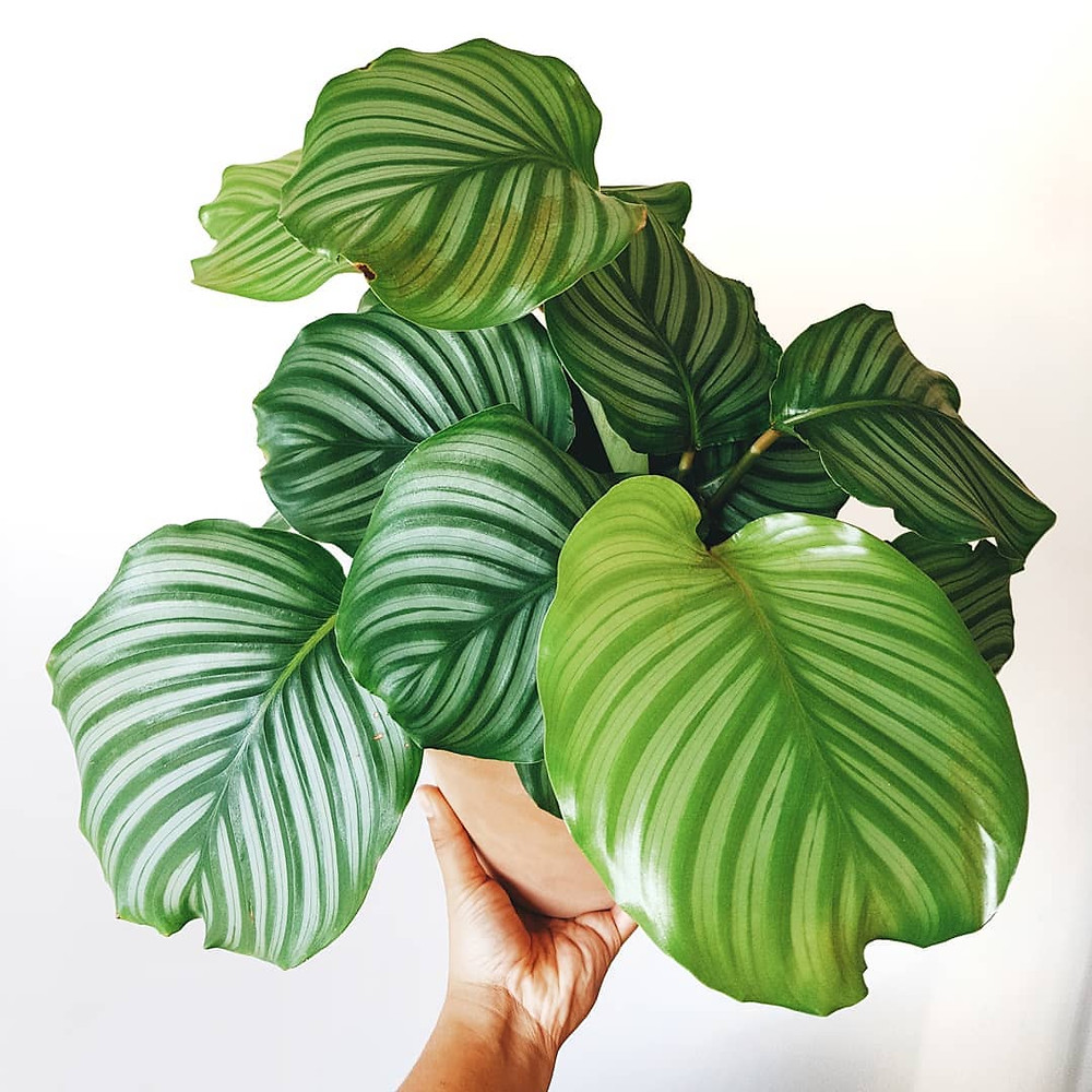 Calathea Low-Light Houseplants Perfect For Dark Rooms