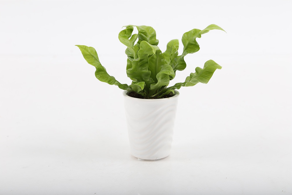 Crispy Wave Air Purifying Plant