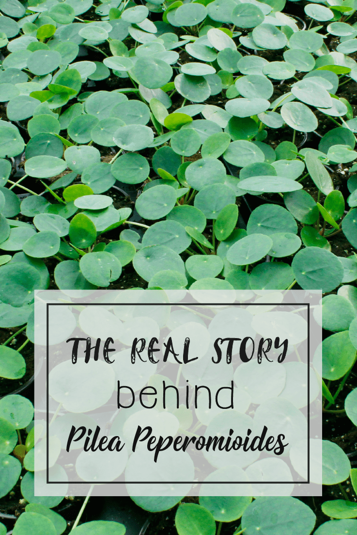 Pilea Peperomioides Origins Real Story
