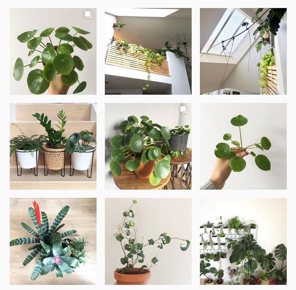 Pilea Peperomioides Instagram Profile Pilea Nursery Vancouver