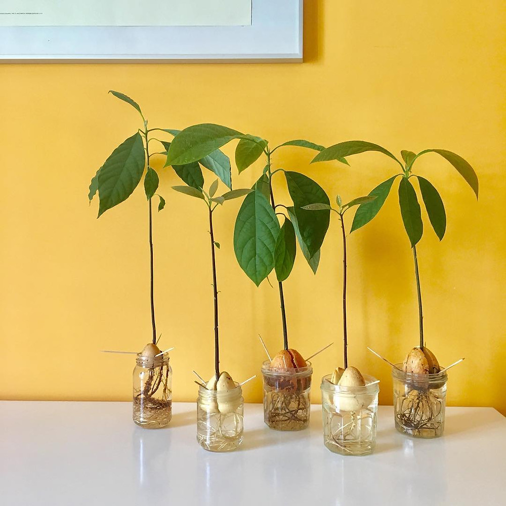Avocado Plant Healthy Edible Plants That You Can Grow Indoors