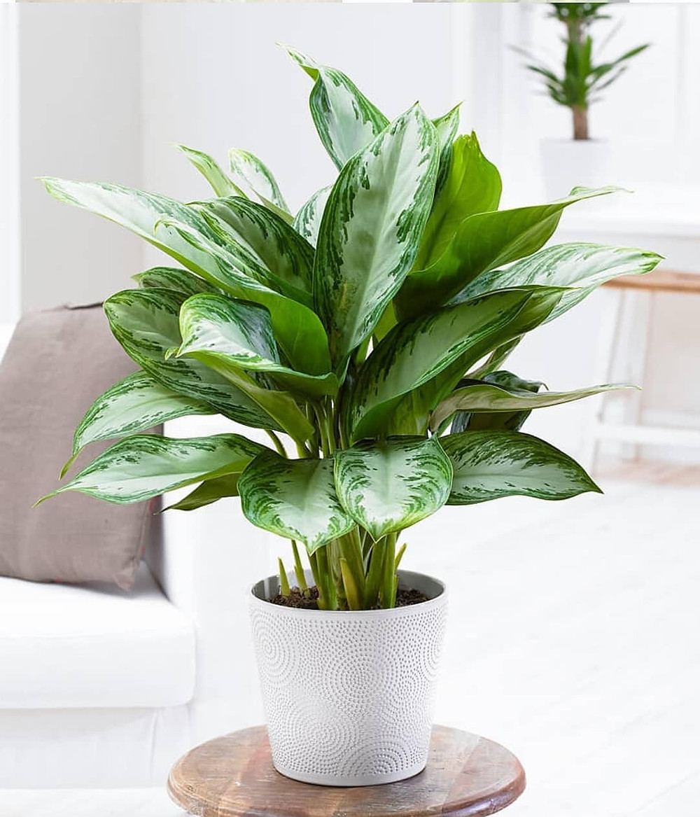 Low Light Houseplant Aglaonema