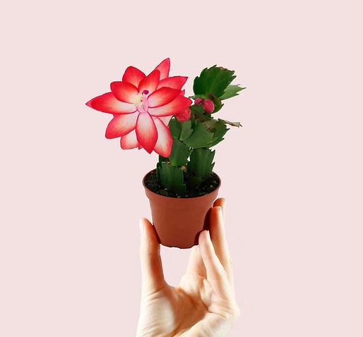 Mini Christmas Cactus