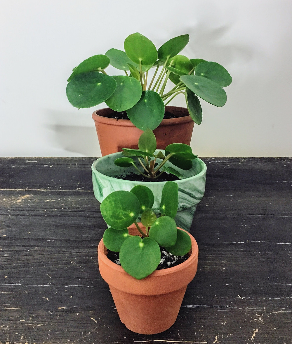 Pilea Peperomioides babies Family loraegrows
