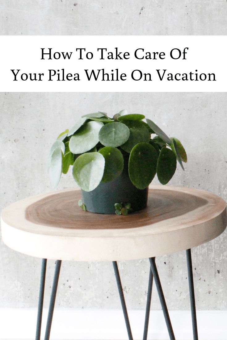 How To Take Care Of Your Pilea While On Vacation