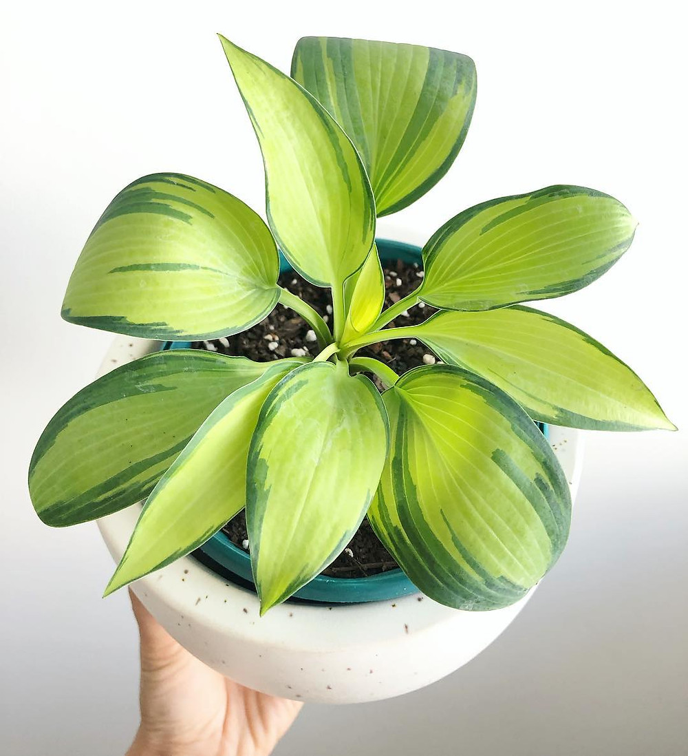 Low Light Houseplant Hosta Plantain Lily