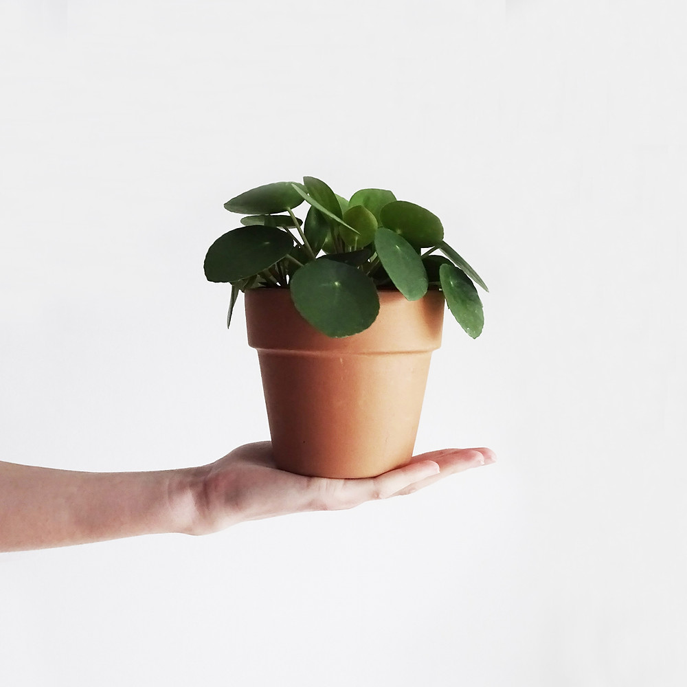 How To Take Care Of Pilea Peperomioides Terracotta Pot