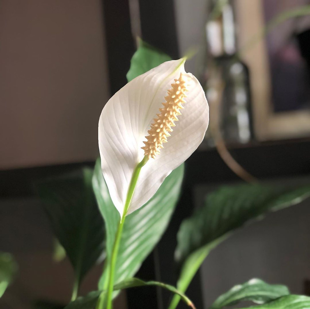 Peace Lily Mood Boosting Plants