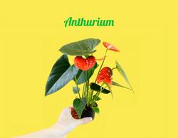 Mini Anthurium