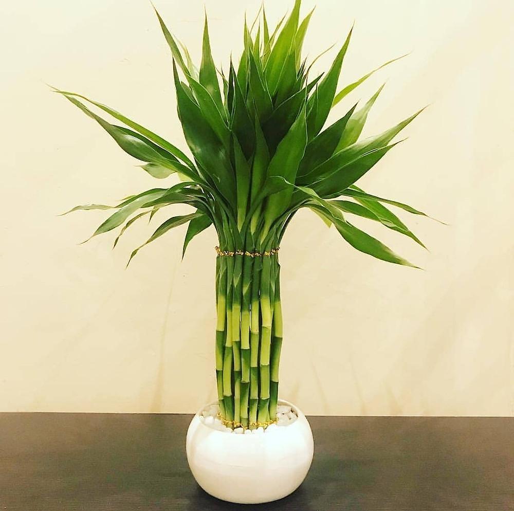 Lucky Bamboo Hard To Kill Houseplants