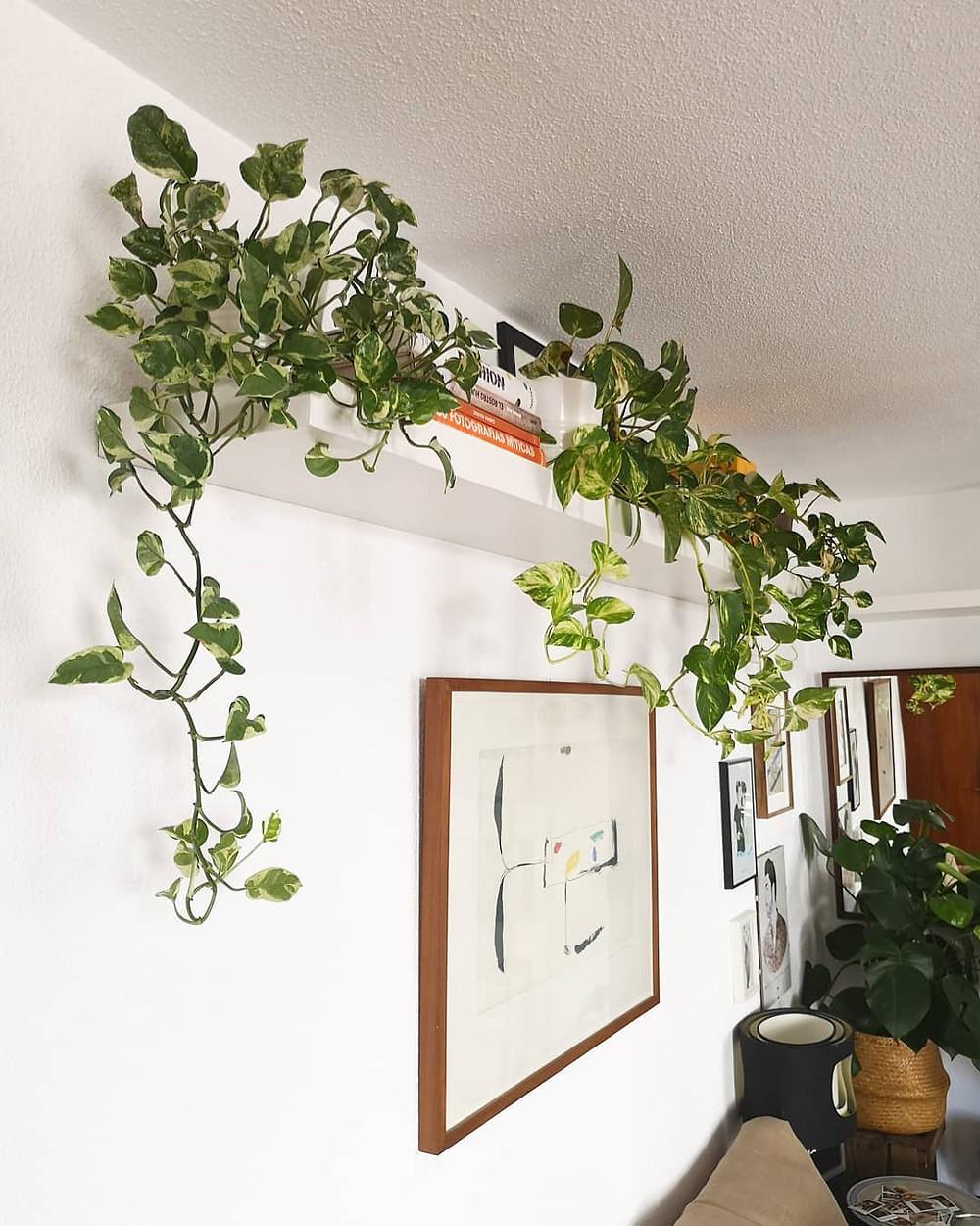 Pothos Low-Light Houseplants Perfect For Dark Rooms