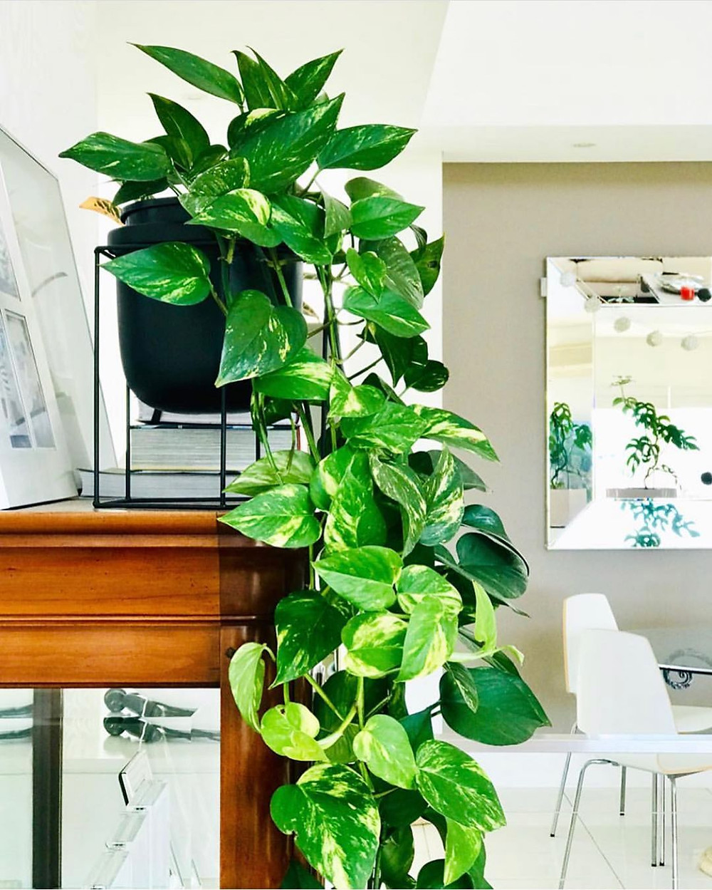 Devil's Ivy Golden Pothos Cheap Houseplants You Can Easily Add To Your Home