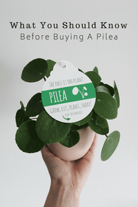 What You Should Know Before Buying Pilea Peperomioides