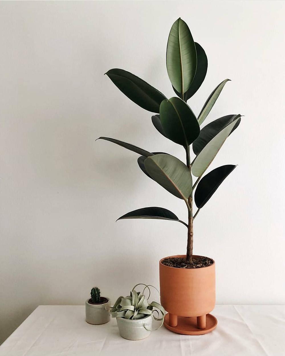 Rubber Fig Ficus Elastica Trending Popular Plant 2018