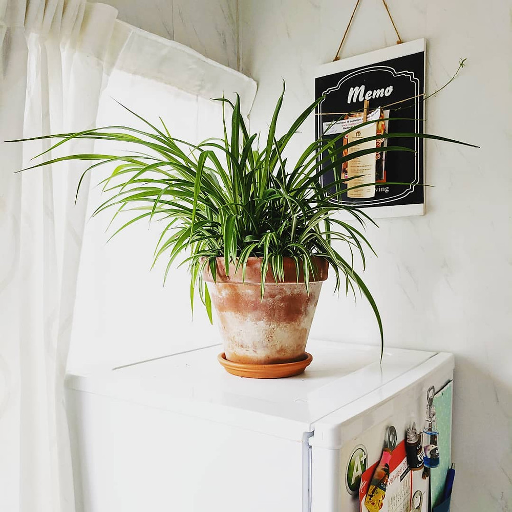 Spider Plant Low-Light Houseplants Perfect For Dark Rooms