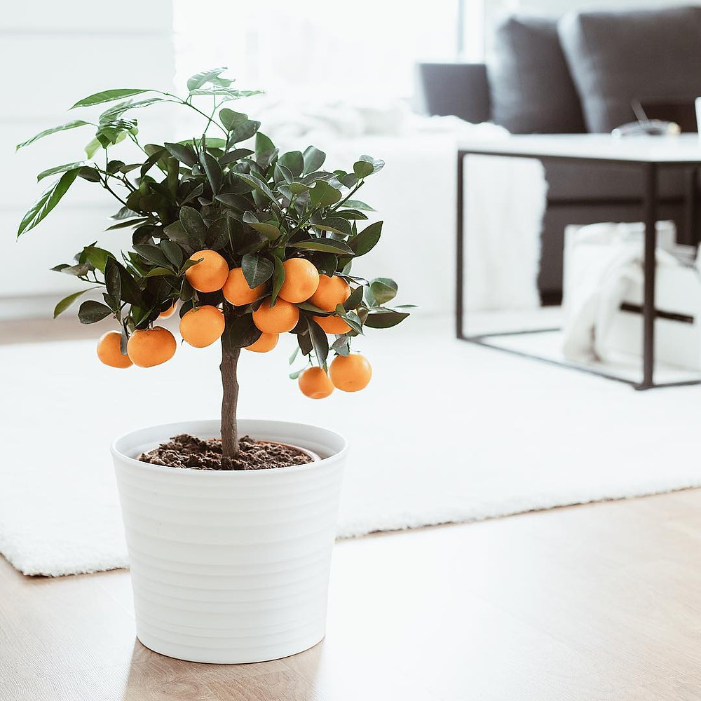 Orange Tree Healthy Edible Plants That You Can Grow Indoors