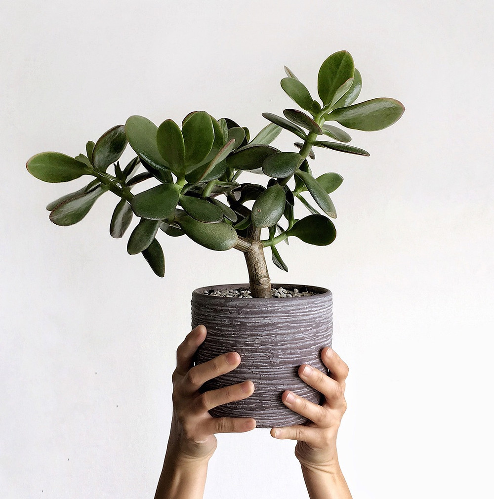 Easy To Care Houseplants Keep Alive Jade Plant Crassula ovata