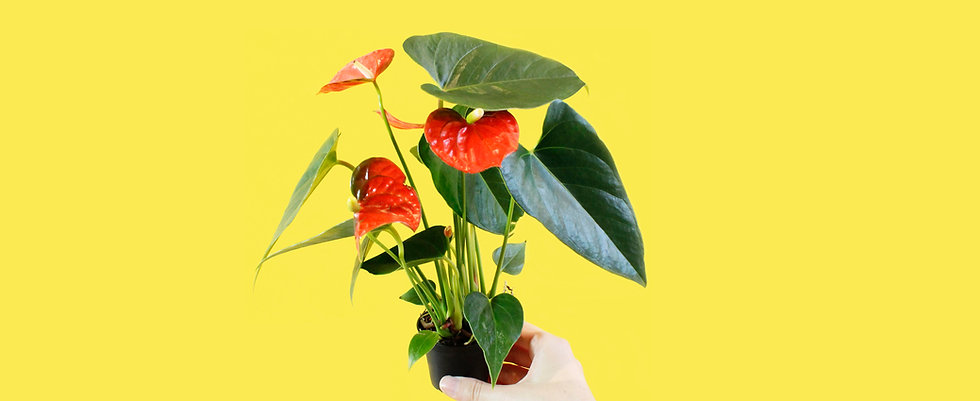 Mini Anthurium Care Food Temperature Requirements