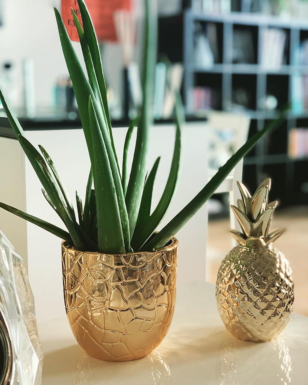 Aloe Vera Quick Fast Growing Houseplants