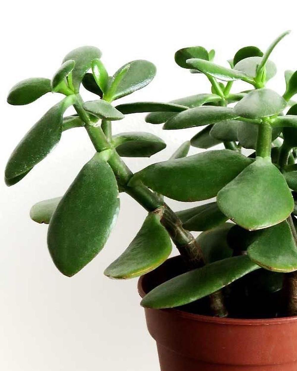 Jade Plant Quick Fast Growing Houseplants