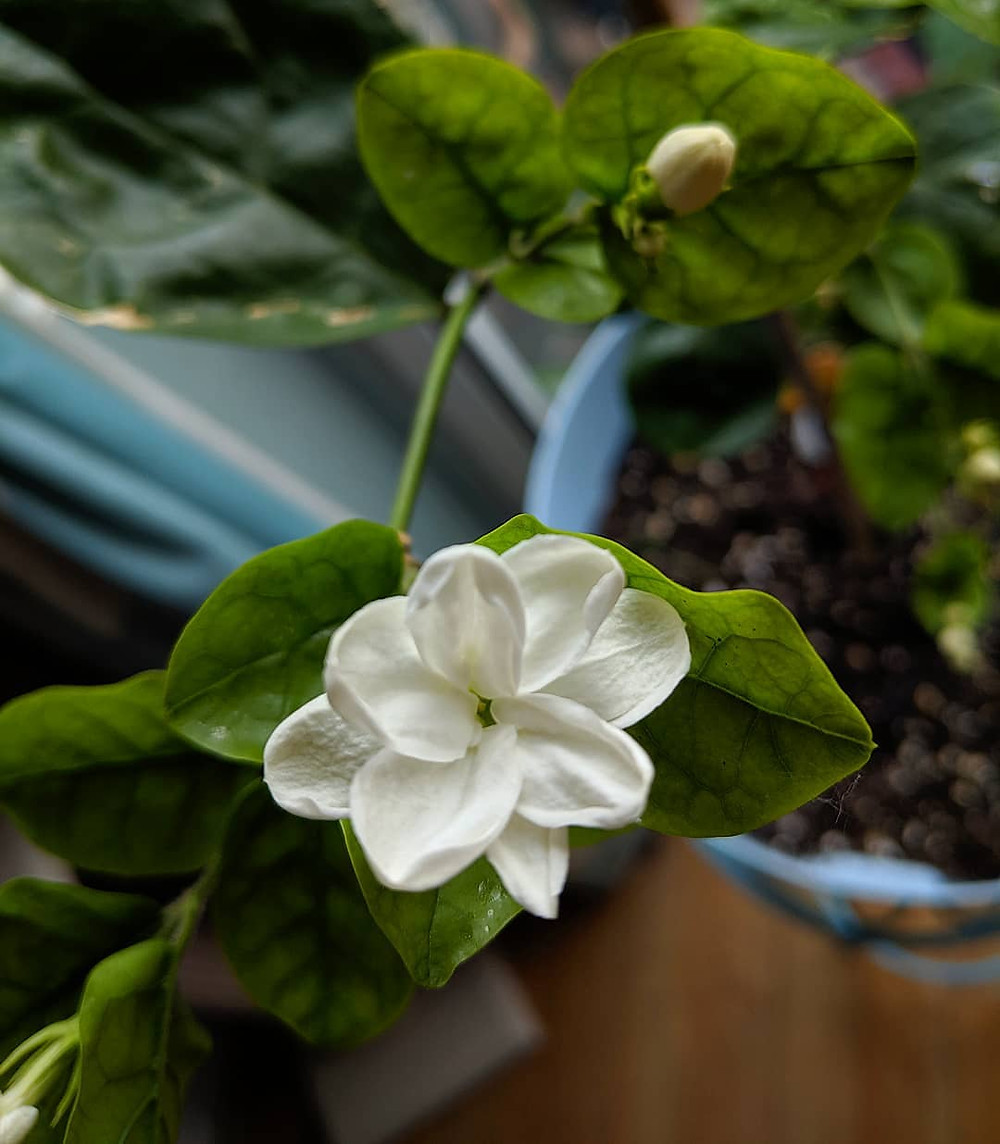 Arabian Jasmine Stunning Flowering Indoor Plants Blooming Bloom Flowers