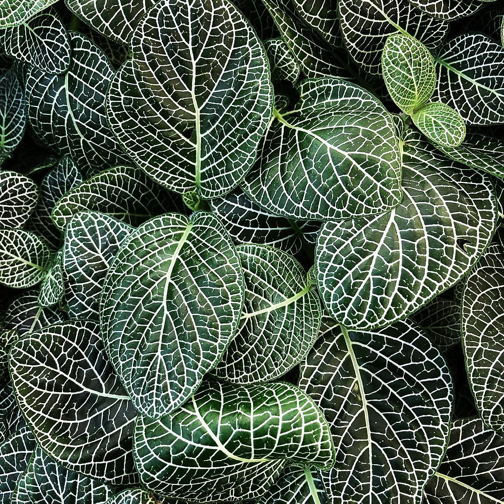 Low Light Houseplant Fittonia