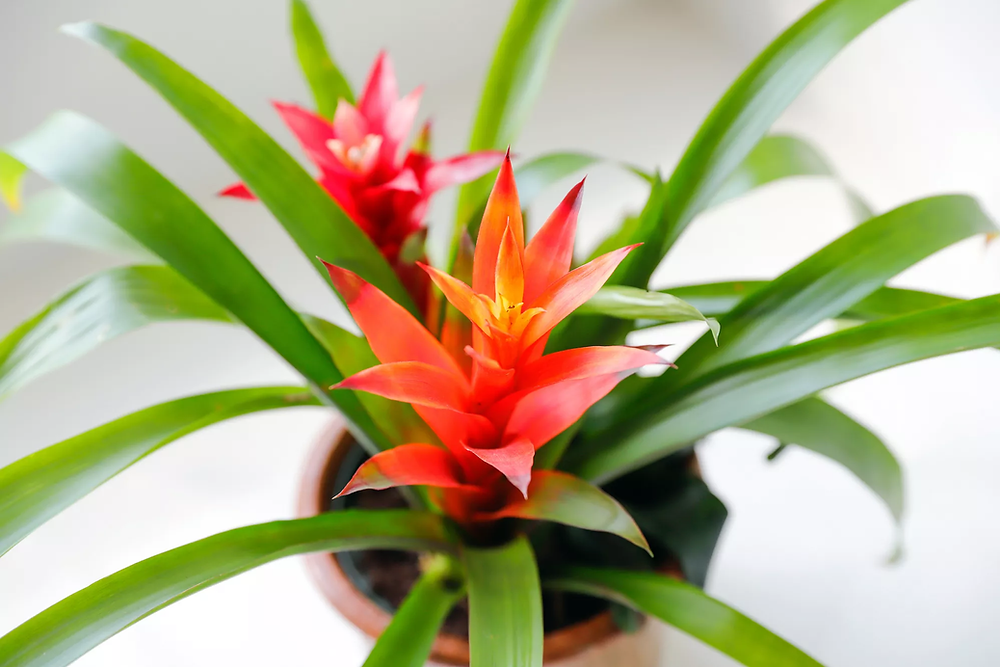 Bromeliad Houseplants That Are Safe For Cats And Dogs