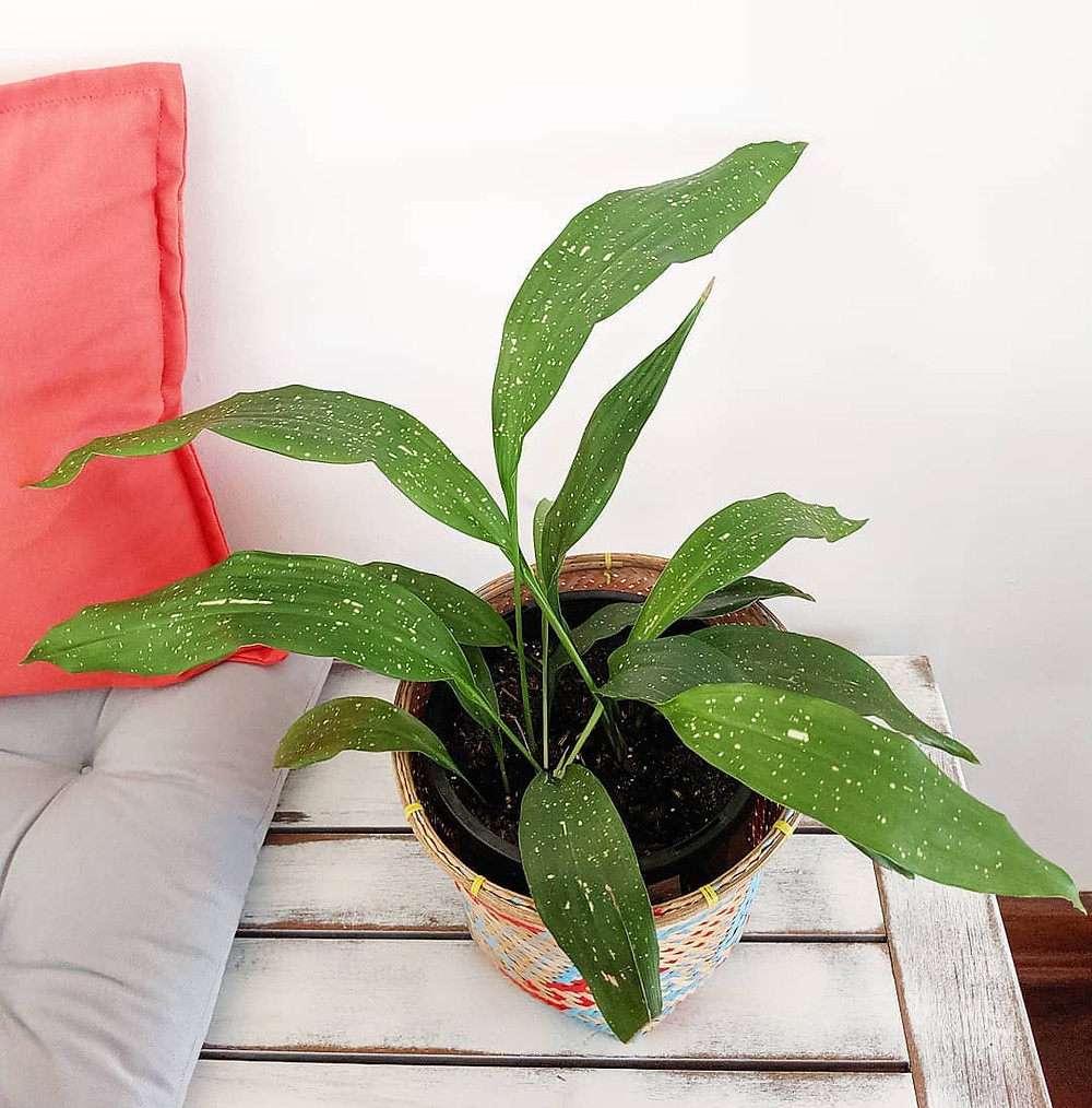 Cast Iron Plant Low-Maintenance Houseplants You Can Easily Grow