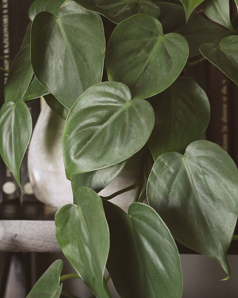 Philodendron Low-Light Houseplants Perfect For Dark Rooms