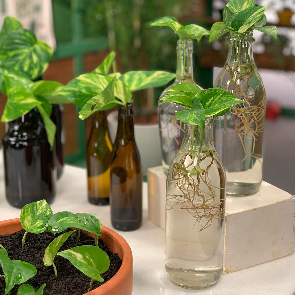 10 Houseplants You Can Easily Grow In Water Pothos Hydroponic