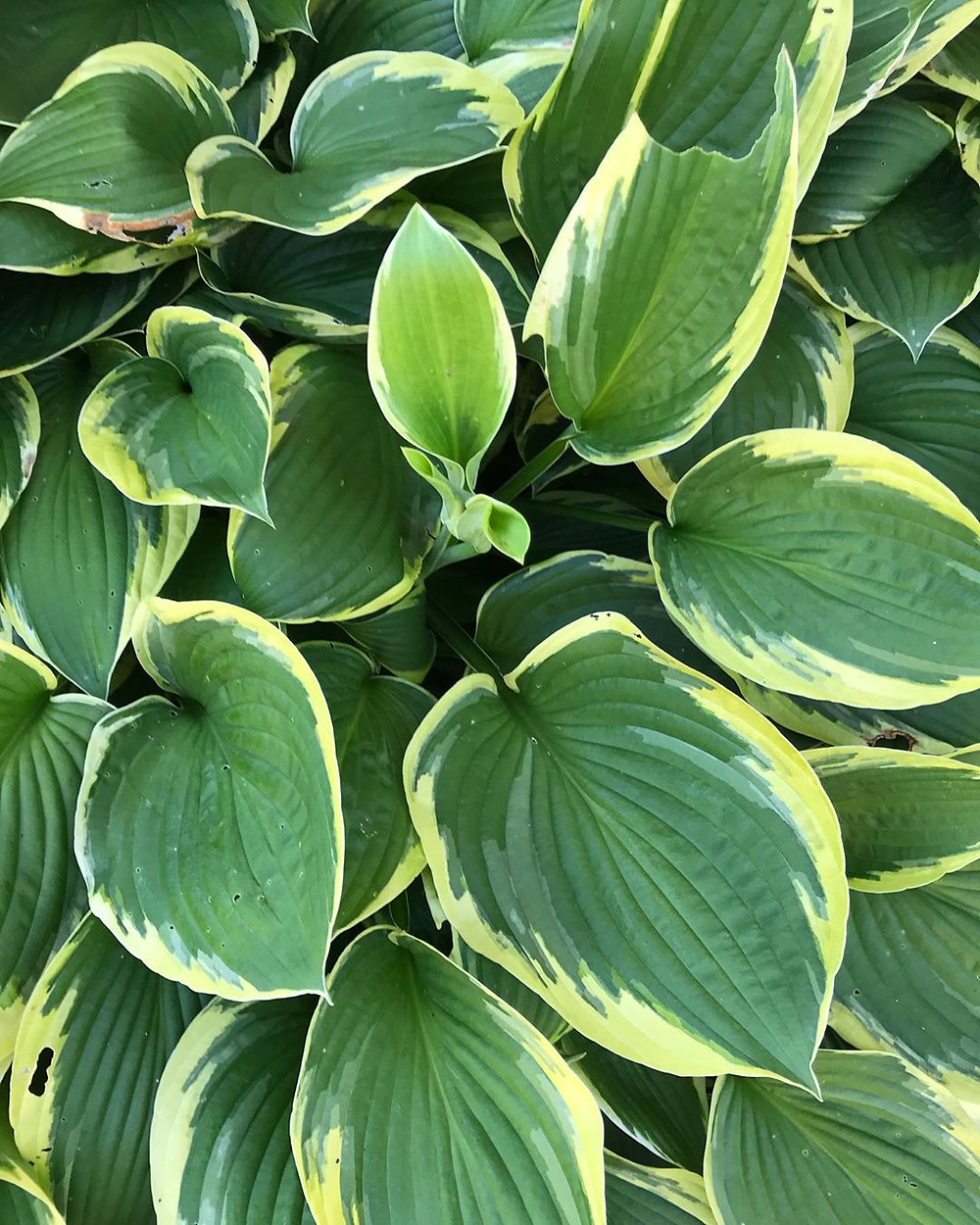 Hosta Variegated Houseplants That Will Add A Touch Of Soul To Your Home
