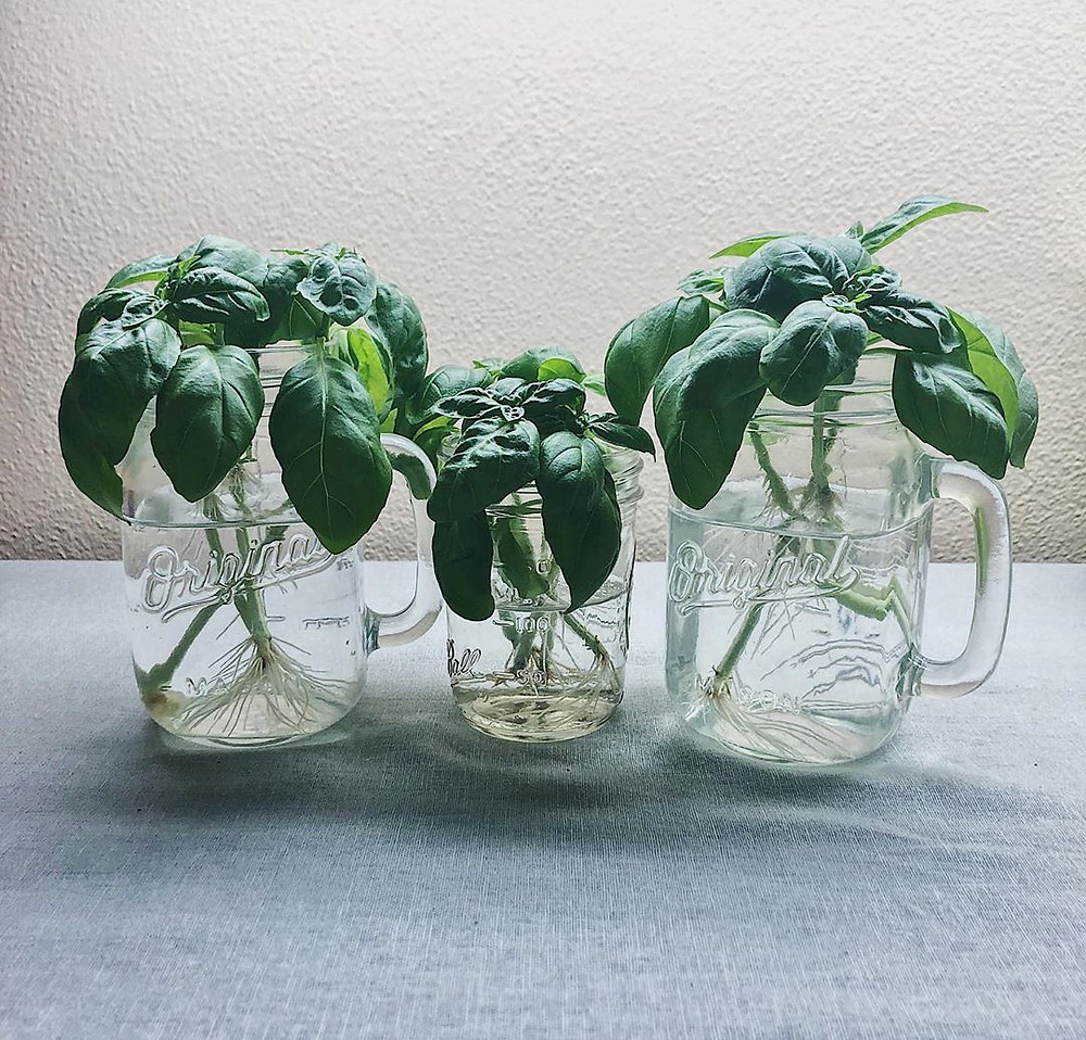 10 Houseplants You Can Easily Grow In Water Basil Hydroponic