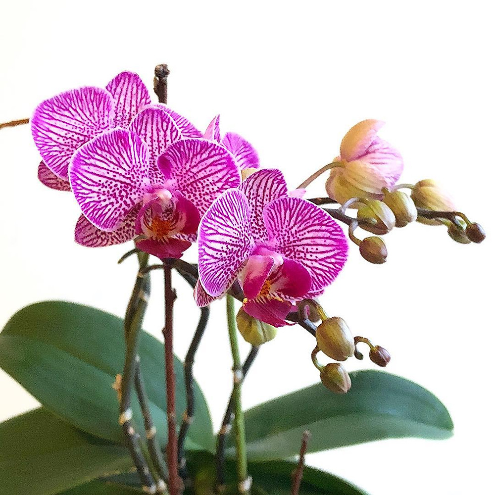 Easy To Care Houseplants Keep Alive Phalaenopsis Orchid